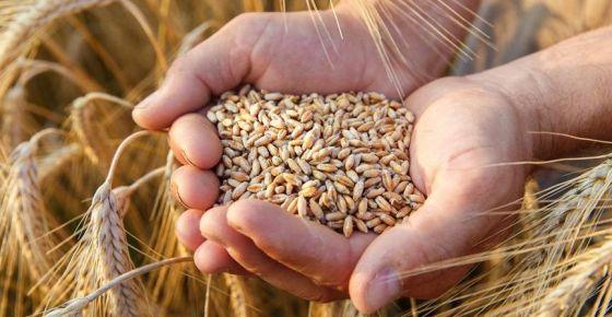 Arpa, buğday ve mısır ithalatında gümrük sıfırlandı