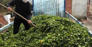 Özel sektör Çay Alımına Devam Ediyor